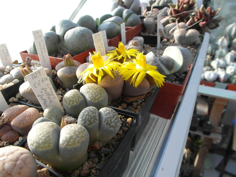 Cacti and Sukkulent in Köln, every day new flowers in the greenhouse Part 86 Bild2287