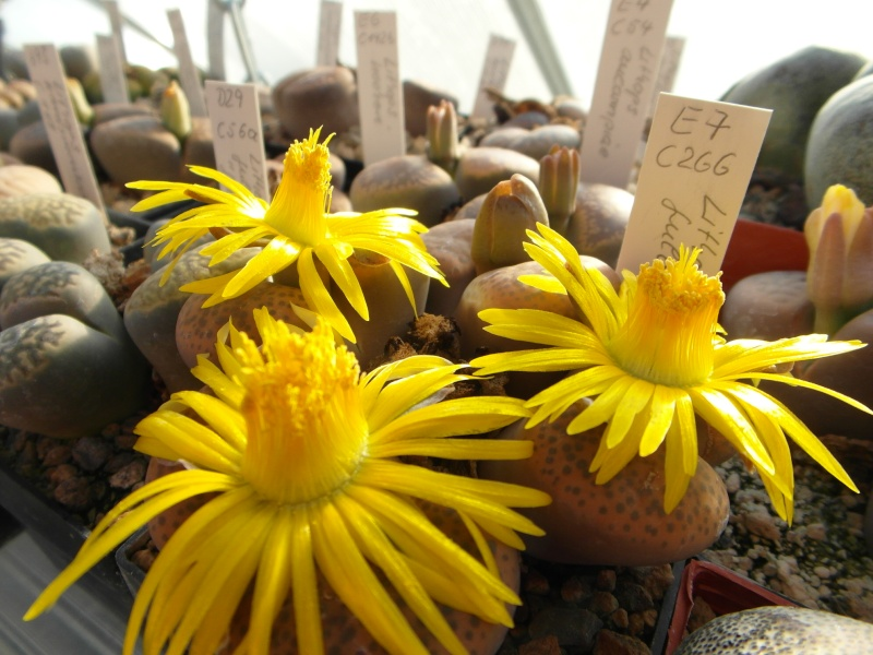 Cacti and Sukkulent in Köln, every day new flowers in the greenhouse Part 86 Bild2289