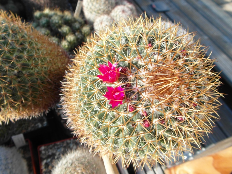 Cacti and Sukkulent in Köln, every day new flowers in the greenhouse Part 87 Bild2295
