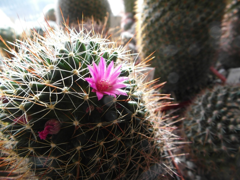 Cacti and Sukkulent in Köln, every day new flowers in the greenhouse Part 87 Bild2296
