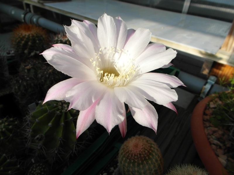 Cacti and Sukkulent in Köln, every day new flowers in the greenhouse Part 87 Bild2299