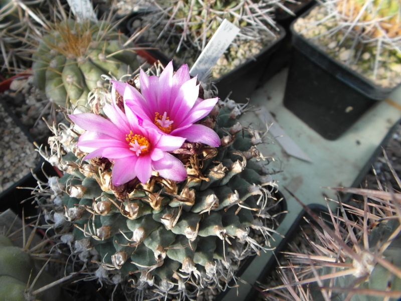 Cacti and Sukkulent in Köln, every day new flowers in the greenhouse Part 87 Bild2300