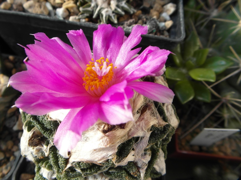 Cacti and Sukkulent in Köln, every day new flowers in the greenhouse Part 87 Bild2302