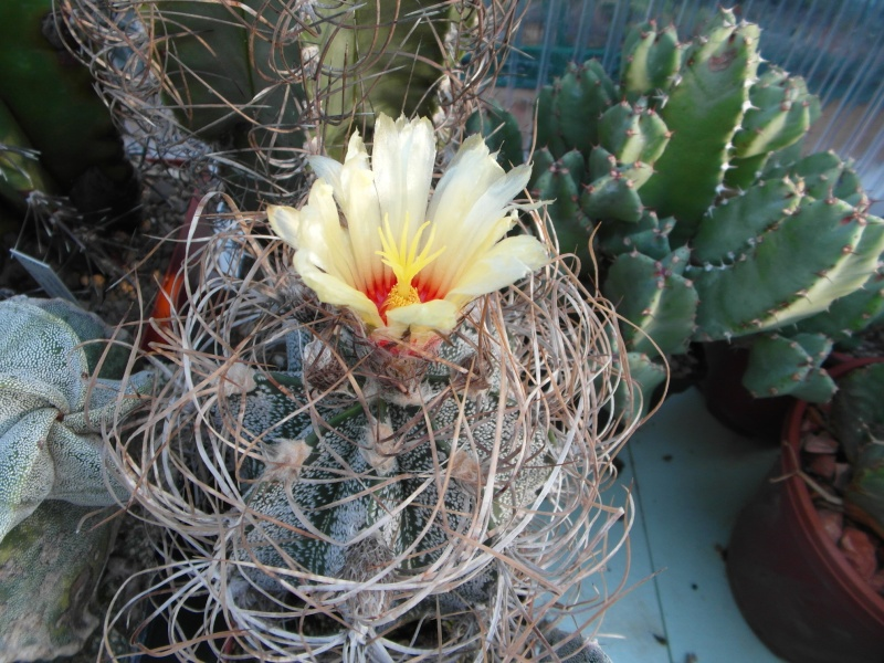 Cacti and Sukkulent in Köln, every day new flowers in the greenhouse Part 87 Bild2312