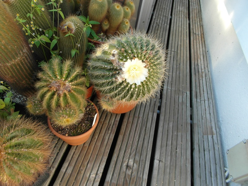 Cacti and Sukkulent in Köln, every day new flowers in the greenhouse Part 87 Bild2320