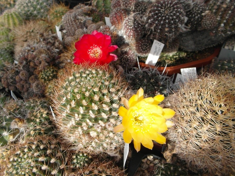 Cacti and Sukkulent in Köln, every day new flowers in the greenhouse Part 87 Bild2324