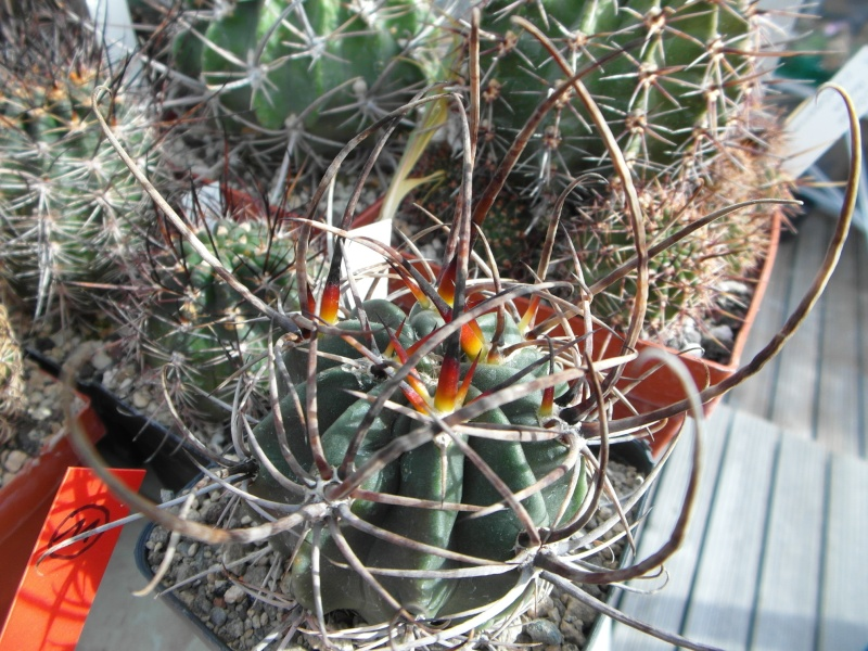 Cacti and Sukkulent in Köln, every day new flowers in the greenhouse Part 87 Bild2325