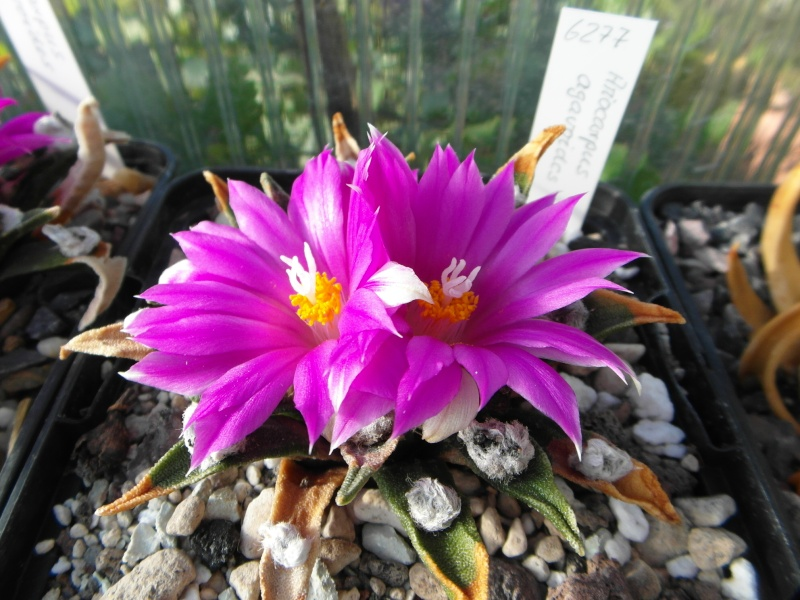 Cacti and Sukkulent in Köln, every day new flowers in the greenhouse Part 87 Bild2330