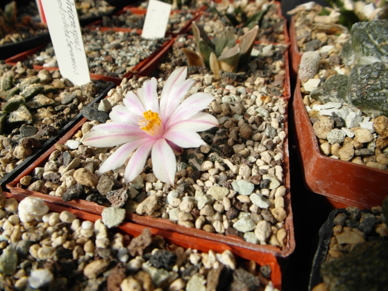 Cacti and Sukkulent in Köln, every day new flowers in the greenhouse Part 87 Bild2332