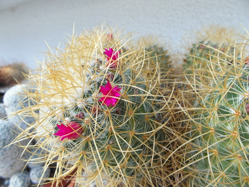 Cacti and Sukkulent in Köln, every day new flowers in the greenhouse Part 87 Bild2335