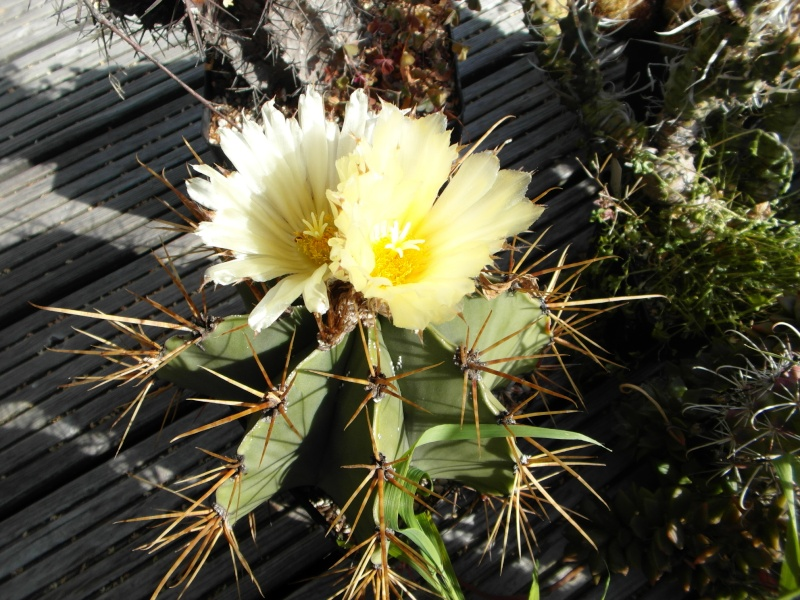 Cacti and Sukkulent in Köln, every day new flowers in the greenhouse Part 87 Bild2337