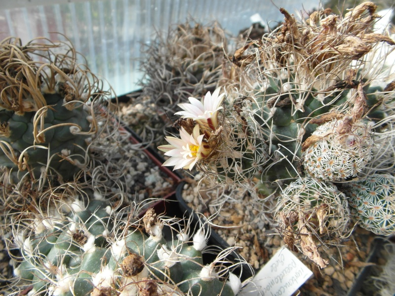 Cacti and Sukkulent in Köln, every day new flowers in the greenhouse Part 87 Bild2343