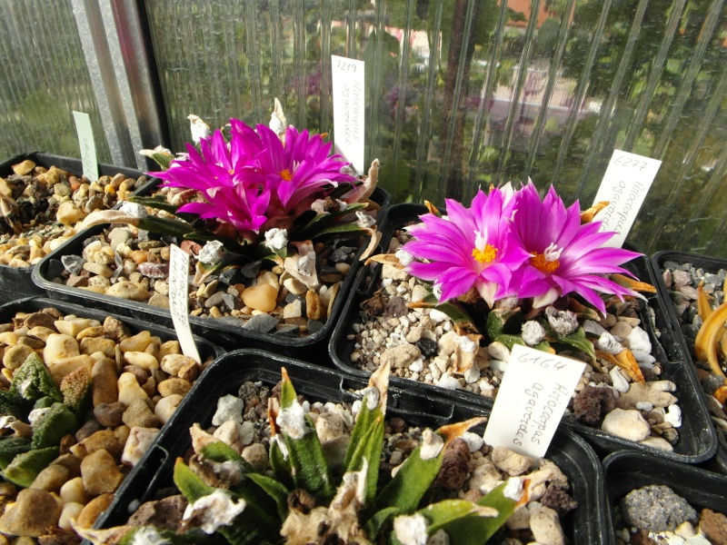 Cacti and Sukkulent in Köln, every day new flowers in the greenhouse Part 87 Bild2348