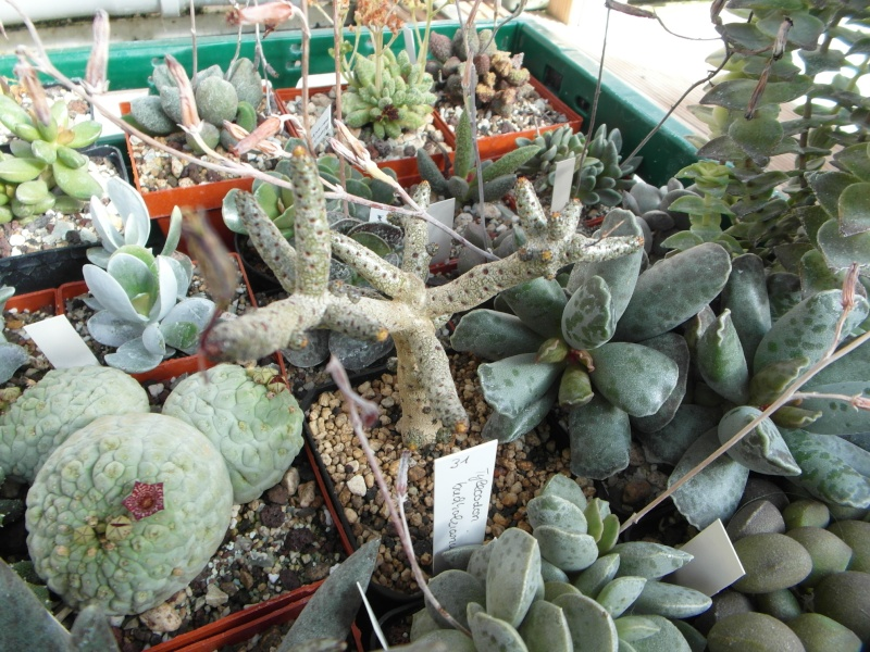 Cacti and Sukkulent in Köln, every day new flowers in the greenhouse Part 87 Bild2355