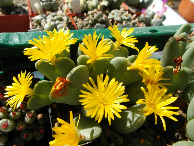 Cacti and Sukkulent in Köln, every day new flowers in the greenhouse Part 87 Bild2358