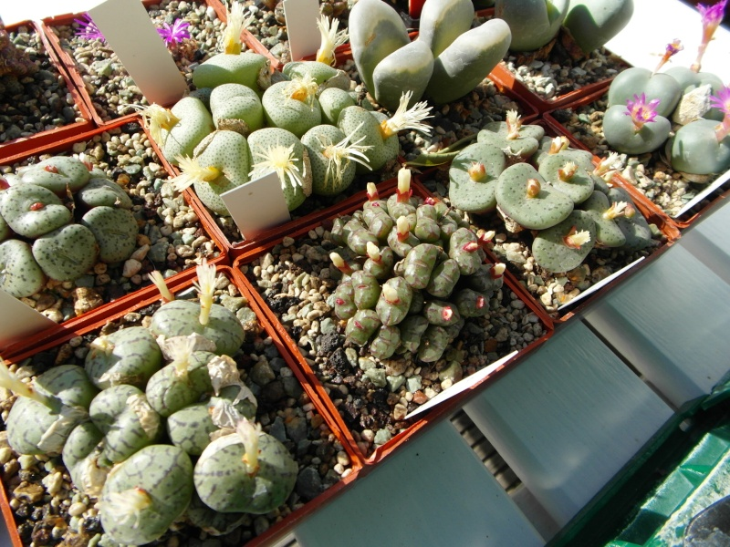 Cacti and Sukkulent in Köln, every day new flowers in the greenhouse Part 87 Bild2359
