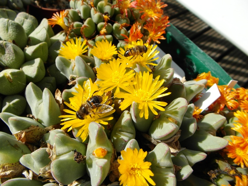 Cacti and Sukkulent in Köln, every day new flowers in the greenhouse Part 87 Bild2361