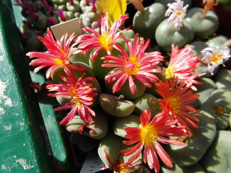 Cacti and Sukkulent in Köln, every day new flowers in the greenhouse Part 87 Bild2362
