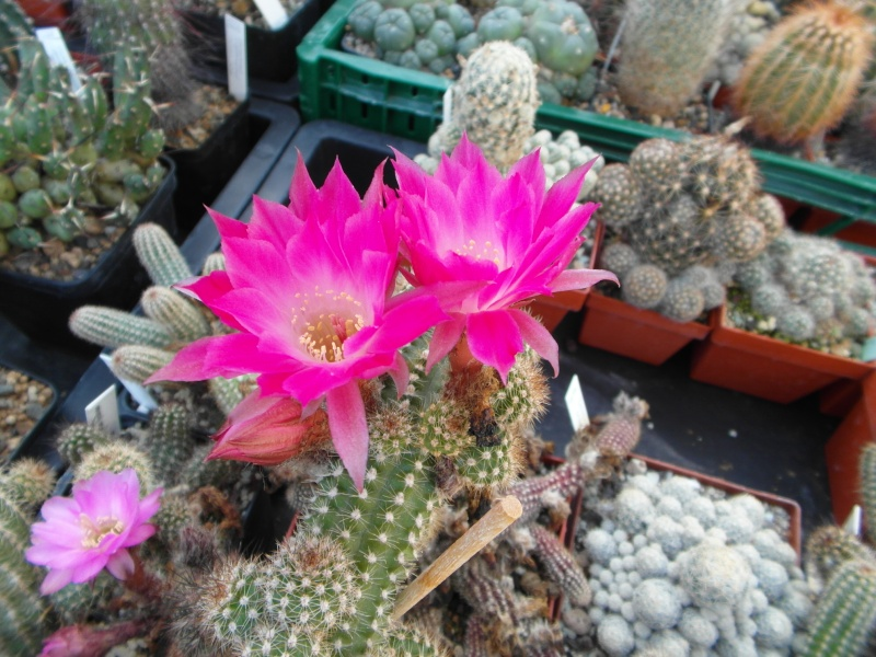 Cacti and Sukkulent in Köln, every day new flowers in the greenhouse Part 87 Bild2364