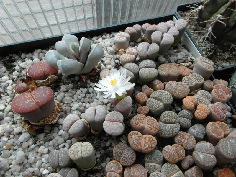 Cacti and Sukkulent in Köln, every day new flowers in the greenhouse Part 88 Bild2366