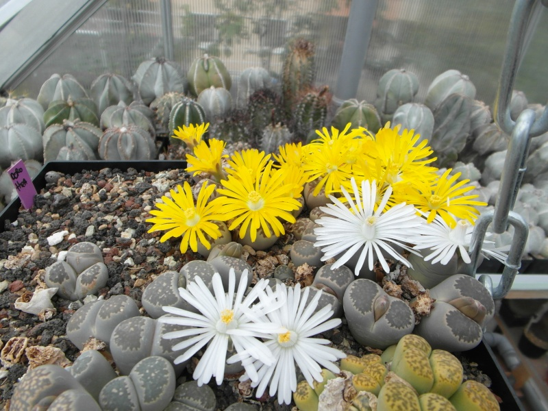 Cacti and Sukkulent in Köln, every day new flowers in the greenhouse Part 88 Bild2367