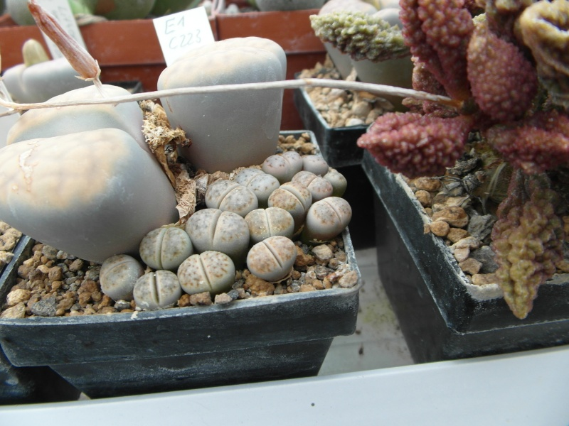 Cacti and Sukkulent in Köln, every day new flowers in the greenhouse Part 88 Bild2368