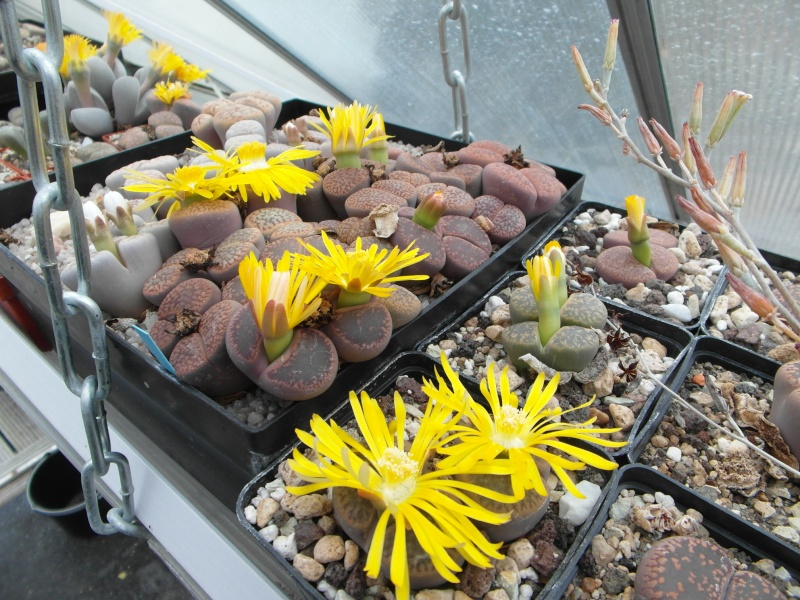 Cacti and Sukkulent in Köln, every day new flowers in the greenhouse Part 88 Bild2370