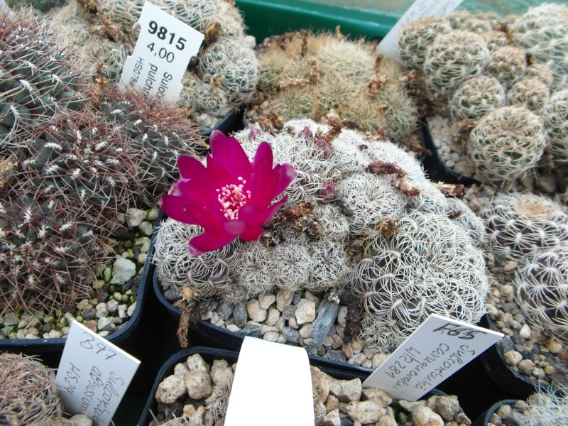 Cacti and Sukkulent in Köln, every day new flowers in the greenhouse Part 88 Bild2374