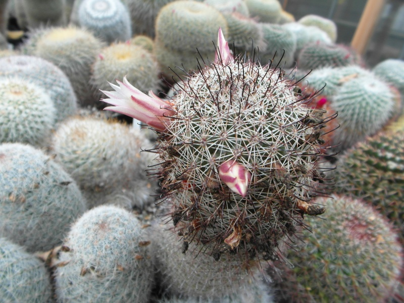 Cacti and Sukkulent in Köln, every day new flowers in the greenhouse Part 88 Bild2377