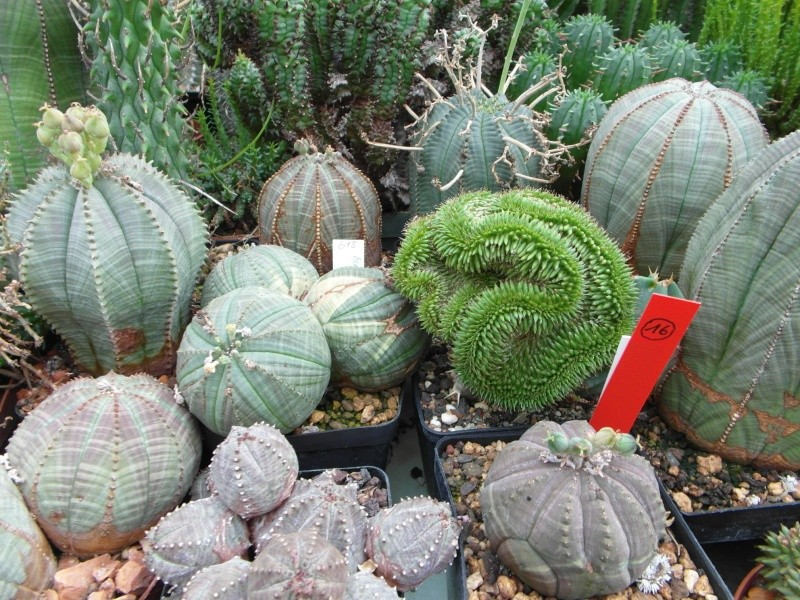 Cacti and Sukkulent in Köln, every day new flowers in the greenhouse Part 88 Bild2378