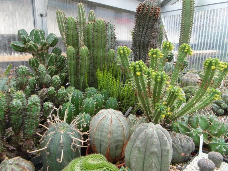 Cacti and Sukkulent in Köln, every day new flowers in the greenhouse Part 88 Bild2379