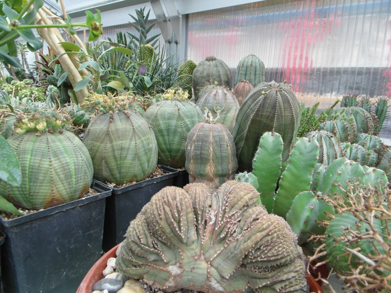 Cacti and Sukkulent in Köln, every day new flowers in the greenhouse Part 88 Bild2381