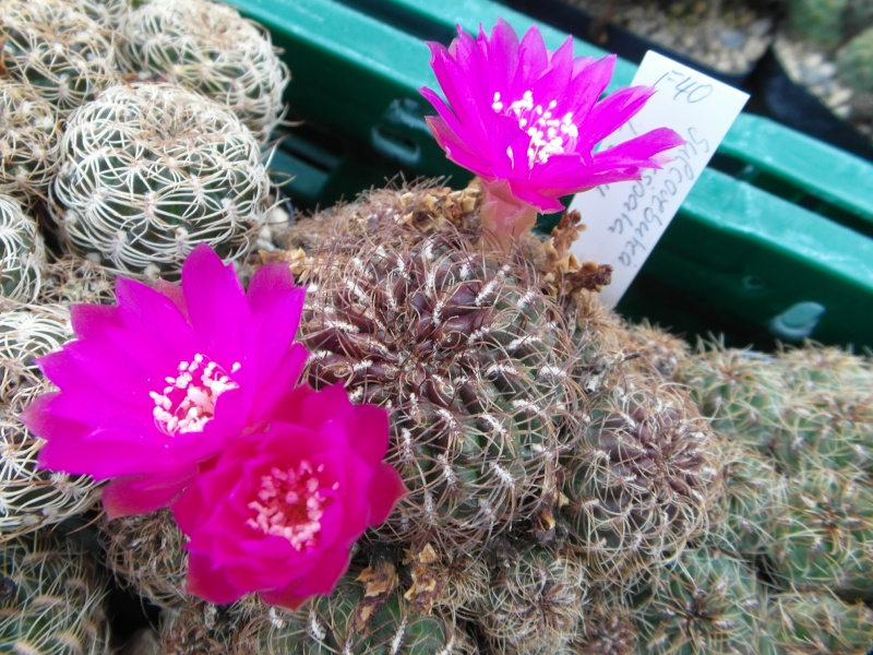 Cacti and Sukkulent in Köln, every day new flowers in the greenhouse Part 88 Bild2386