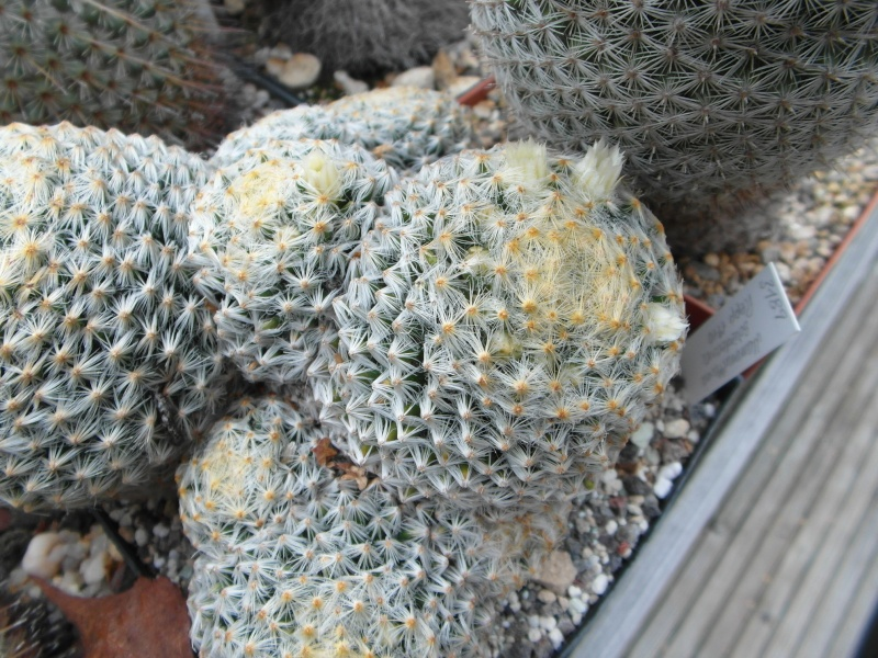 Cacti and Sukkulent in Köln, every day new flowers in the greenhouse Part 88 Bild2387