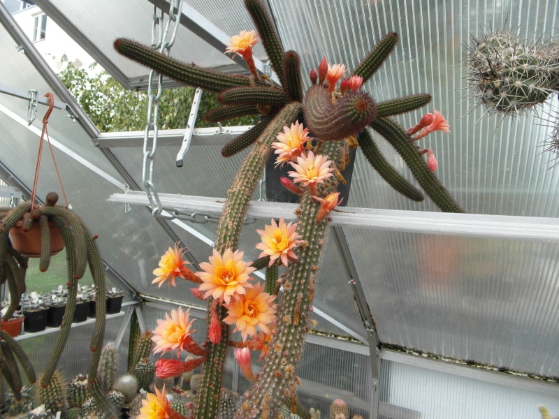Cacti and Sukkulent in Köln, every day new flowers in the greenhouse Part 88 Bild2392