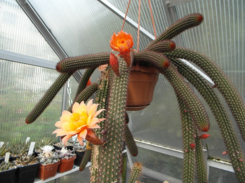 Cacti and Sukkulent in Köln, every day new flowers in the greenhouse Part 88 Bild2393