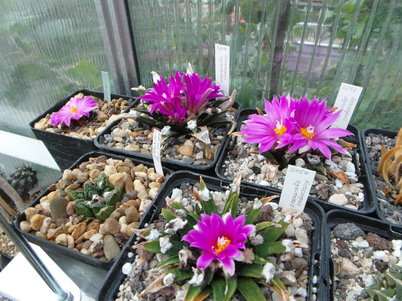 Cacti and Sukkulent in Köln, every day new flowers in the greenhouse Part 88 Bild2397