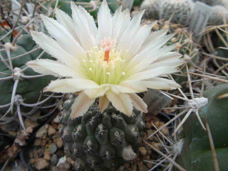 Cacti and Sukkulent in Köln, every day new flowers in the greenhouse Part 88 Bild2408