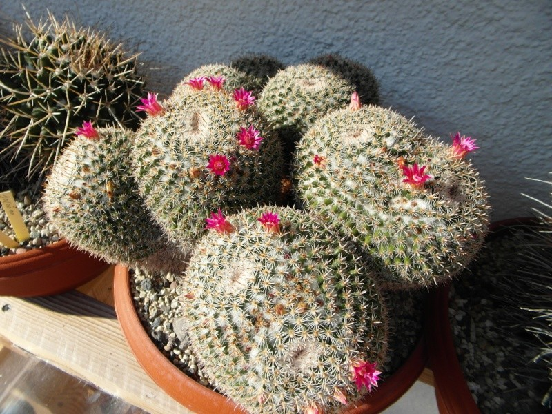 Cacti and Sukkulent in Köln, every day new flowers in the greenhouse Part 88 Bild2409