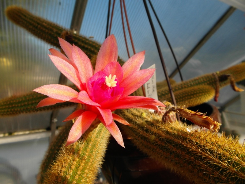 Cacti and Sukkulent in Köln, every day new flowers in the greenhouse Part 88 Bild2413