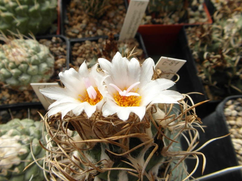 Cacti and Sukkulent in Köln, every day new flowers in the greenhouse Part 88 Bild2414