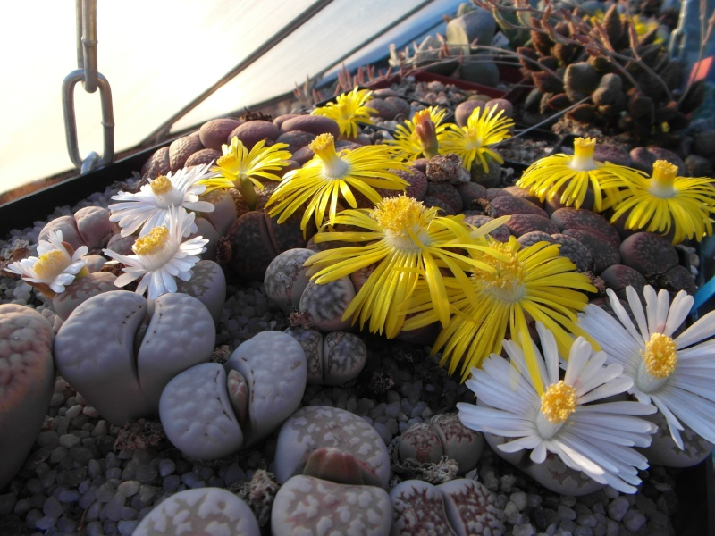 Cacti and Sukkulent in Köln, every day new flowers in the greenhouse Part 88 Bild2422