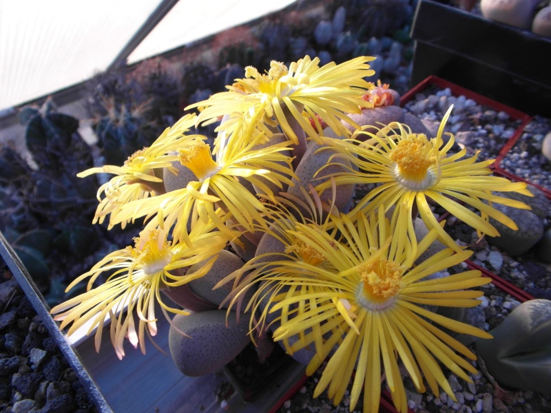 Cacti and Sukkulent in Köln, every day new flowers in the greenhouse Part 88 Bild2423