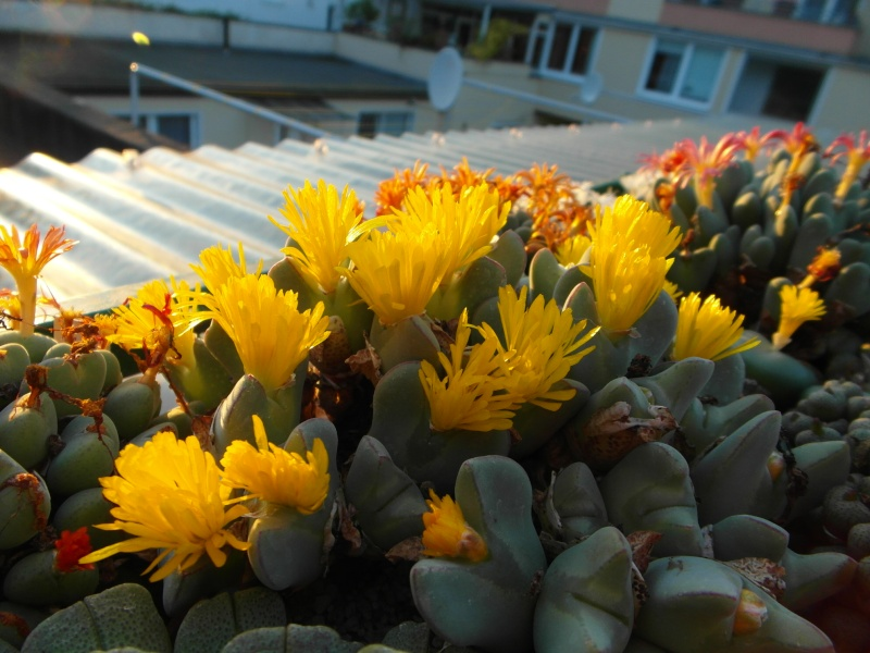 Cacti and Sukkulent in Köln, every day new flowers in the greenhouse Part 88 Bild2425
