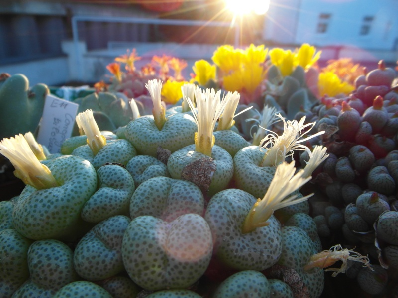 Cacti and Sukkulent in Köln, every day new flowers in the greenhouse Part 88 Bild2426