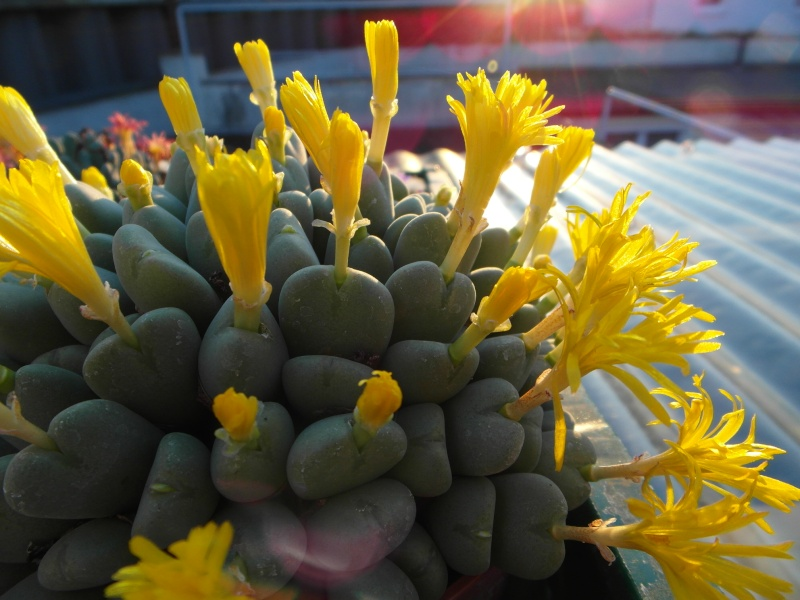 Cacti and Sukkulent in Köln, every day new flowers in the greenhouse Part 88 Bild2428