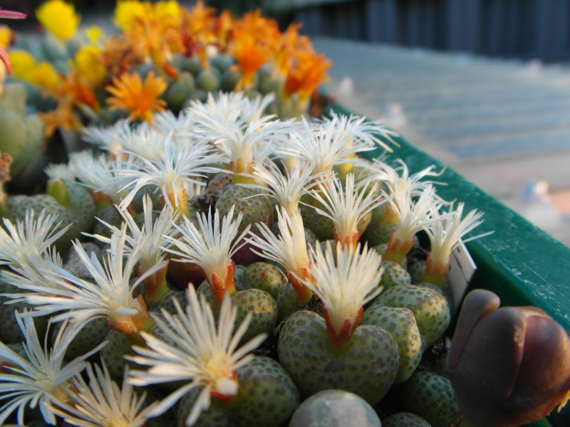 Cacti and Sukkulent in Köln, every day new flowers in the greenhouse Part 88 Bild2430
