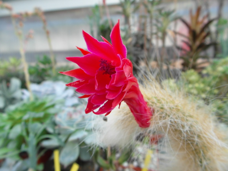 Cacti and Sukkulent in Köln, every day new flowers in the greenhouse Part 88 Bild2432