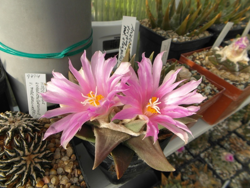 Cacti and Sukkulent in Köln, every day new flowers in the greenhouse Part 88 Bild2435