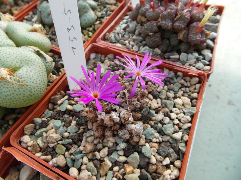 Cacti and Sukkulent in Köln, every day new flowers in the greenhouse Part 88 Bild2445
